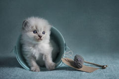 Ragdoll Kitten Stock Photos