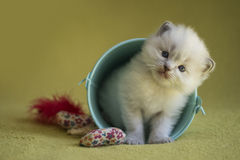 Ragdoll Kitten. A cute ragdoll kitten pose in a small blue bucket on a green blanket with yellow flowers royalty free stock photo