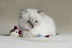 Ragdoll Kitten Royalty Free Stock Photos