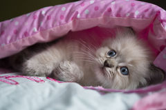 Ragdoll Kitten Stock Images