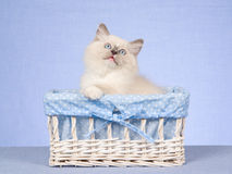 Ragdoll kitten in gift box on blue background Royalty Free Stock Photo