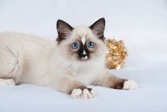 Ragdoll kitten with gold christmas decoration. Ragdoll kitten on white/silver background with gold Christmas decoration Stock Photo