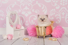 Ragdoll kitten in golden bath. Cute ragdoll kitten cat in a golden bath in a pink bathroom scene royalty free stock images