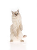 Ragdoll kitten on hind legs Stock Photography