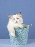 Ragdoll kitten inside blue bucket Royalty Free Stock Photo