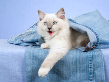 Ragdoll kitten inside leg of jeans denims Royalty Free Stock Photography
