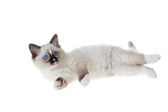 Ragdoll kitten isolated on white background. Ragdoll kitten isolated on white Stock Image
