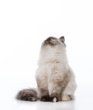 Ragdoll kitten looking up Royalty Free Stock Image