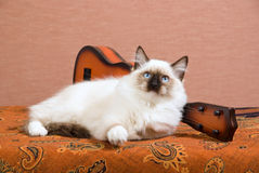 Ragdoll kitten lying next to mini guitar Stock Photos