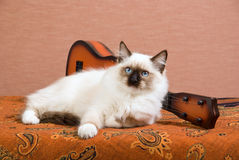 Ragdoll kitten with mini guitar Stock Image