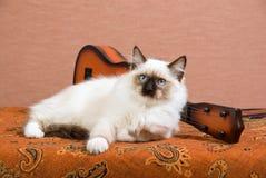 Ragdoll kitten with mini guitar. Beautiful Ragdoll kitten with miniature guitar on brown background Stock Image