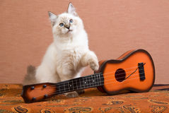 Ragdoll kitten with mini guitar. Ragdoll kitten with miniature brown guitar royalty free stock images