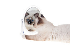 Ragdoll kitten with mirror Stock Photography