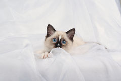 Ragdoll kitten peeping showing off white paws. Ragdoll kitten full body lying down on folds of white soft fabric background, peeping at camera, looking curious royalty free stock photography