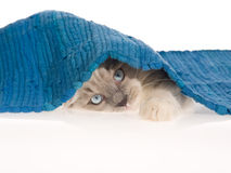 Ragdoll kitten peeping from under blue rug Stock Photos