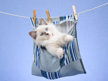 Ragdoll kitten in peg bag on washing line. Cute Ragdoll kitten sitting in striped peg bag hanging from washing line stock images