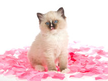 Ragdoll kitten on pink rose petals. Cute Ragdoll kitten sitting on pink rose petals on white background Royalty Free Stock Images