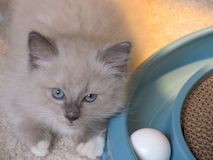 Ragdoll kitten Stock Photography