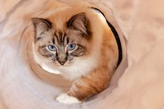 Ragdoll kitten in playtunnel stock photography