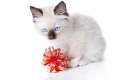 Ragdoll kitten with red ribbon Stock Images