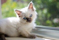Ragdoll Kitten. Relaxing by the window Royalty Free Stock Photo