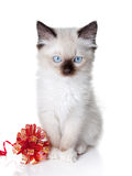 Ragdoll kitten with ribbon Royalty Free Stock Photography
