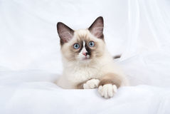 Ragdoll kitten showing off white paws. Seal point Ragdoll kitten on soft shiny white background Royalty Free Stock Image