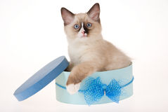 Ragdoll kitten sitting in blue box. Ragdoll kitten sitting inside blue gift box on white background royalty free stock photography