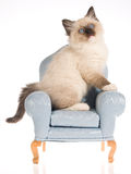 Ragdoll kitten sitting on blue mini chair Stock Photos