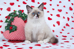 Ragdoll kitten sitting on heart print fabric. Ragdoll kitten with heart-shaped cushions on fabrics imprinted with hearts Stock Images