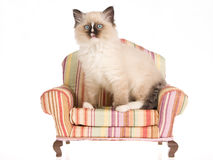 Ragdoll kitten sitting on striped mini chair Stock Image
