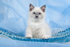 Ragdoll kitten sitting up in blue basket. Blue point Ragdoll kitten in blue beaded basket decorated with blue beads Stock Image