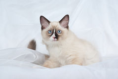 Ragdoll kitten sitting on white fabric. Ragdoll kitten full body lying down on folds of white soft fabric background, looking up curiously royalty free stock images