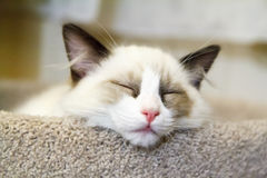 Ragdoll Kitten Sleeping Stock Photos