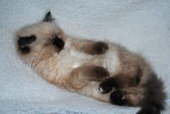 Ragdoll kitten. Sleeping cutely on his fleece blanket Stock Photo