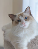 Ragdoll Kitten in Soft Light Stock Photography