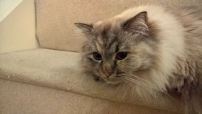 Ragdoll Kitten On Stairs Royaltyfri Foto
