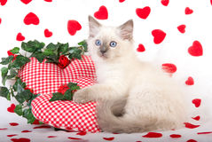 Ragdoll kitten with Valentine props Stock Photography