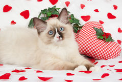 Ragdoll kitten with valentine theme. Ragdoll kitten on heart print fabric with miniature heart shaped cushions Stock Photo