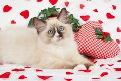 Ragdoll kitten with valentine theme Stock Photo