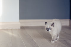 Ragdoll kitten walking at home stock image