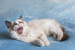 Ragdoll kitten yawning with big mouth royalty free stock images