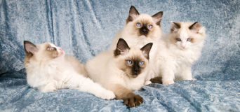 Ragdoll kittens Royalty Free Stock Photography