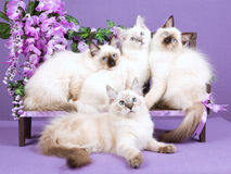 Ragdoll kittens on mini bench with flowers. 4 Pretty Ragdoll kittens sitting on miniature bench with purple wisteria flowers Royalty Free Stock Photo