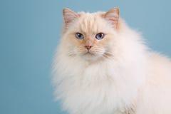 Ragdoll kot w zimy futerku Obrazy Royalty Free