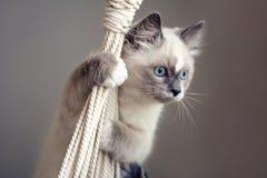 Ragdoll kot wspina się arkanę zdjęcia royalty free