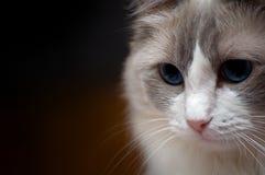 Ragdoll kot zamknięty w górę głowy strzelał portret, ciemny tło fotografia royalty free
