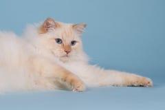 Ragdoll laying on blue background. Ragdoll laying on a blue background Royalty Free Stock Image