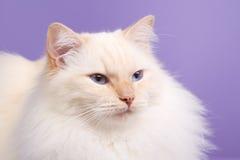 Ragdoll na purpurowym tle Obraz Royalty Free