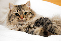 Ragdoll/Perser/Norwegianforestcat Royalty Free Stock Image